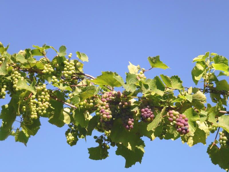 En kroatisk winevingård royaltyfri foto