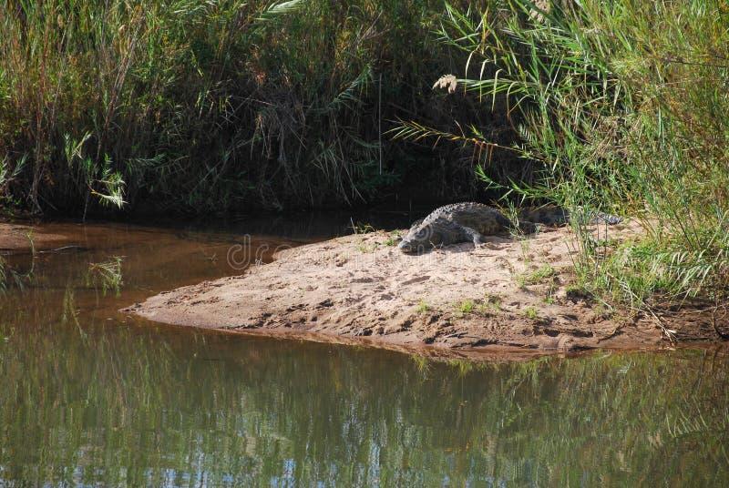 En krokodil som värma sig i solen arkivbild