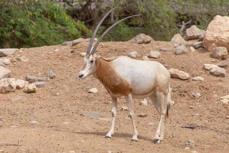 En kroksabeloryxantilop eller enhorned oryxantiloporyxantilopdammah arkivfoton
