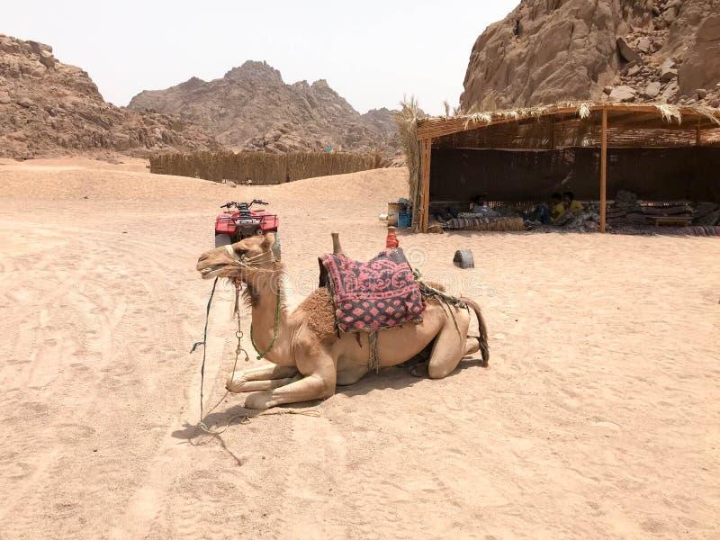En kvadratcykel och en kamel som vilar med en knöl med en nos, en person som äter en växt, sugrör, matsammanträde på varm gul san fotografering för bildbyråer