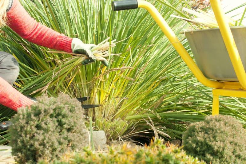 En kvinna beskar växter i trädgården med en pruner som förbereder trädgården för vintern, en trädgårds- spårvagn, trädgårdarbete arkivfoton