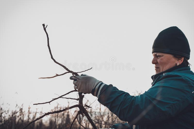 En kvinna i hennes h?nder mot himlen rymmer ett ungt tr?d gr?vt upp med rotar royaltyfri bild