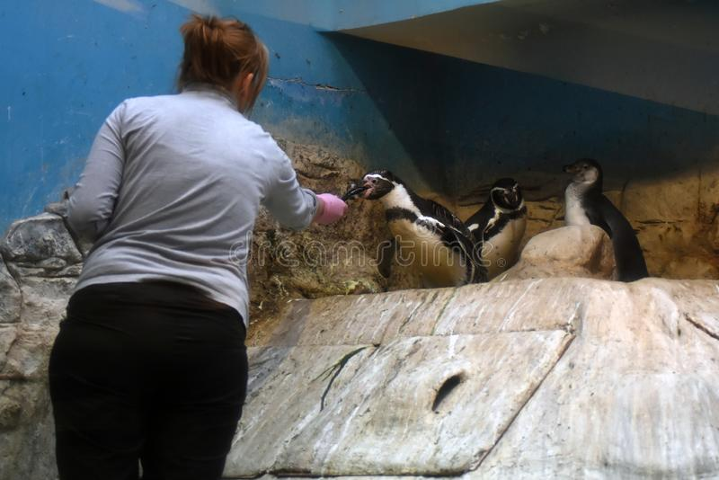 En kvinna matar pingvin i Moskvazoo arkivbilder