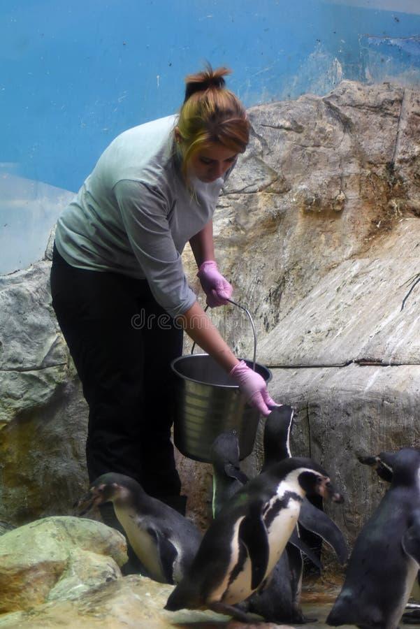 En kvinna matar pingvin i Moskvazoo arkivbild