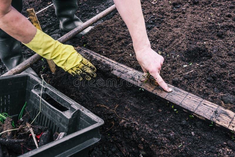 En kvinna planterar en v?xt i jordningen Gr?splan spirar i jordningen Plantera plantor i v?xthuset Tr?dg?rdsm?starens hand i a royaltyfri bild