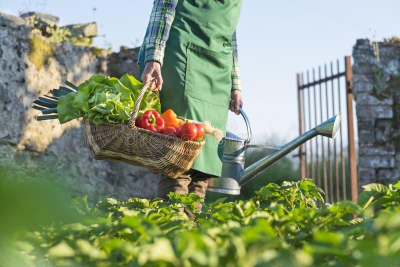En kvinna som bär en korg av nya grönsaker i hans trädgård fotografering för bildbyråer