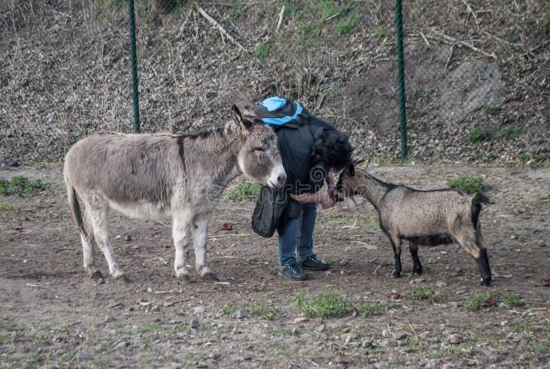 En kvinna som lutar över matningar en get och en åsna står närliggande väntande på mat royaltyfria bilder