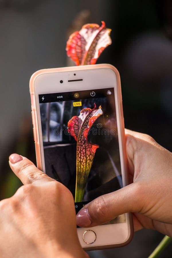 En kvinna tar en bild med hennes mobiltelefon till en köttätande blomma royaltyfri bild