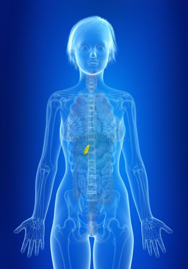 en kvinnas gallbladder stock illustrationer
