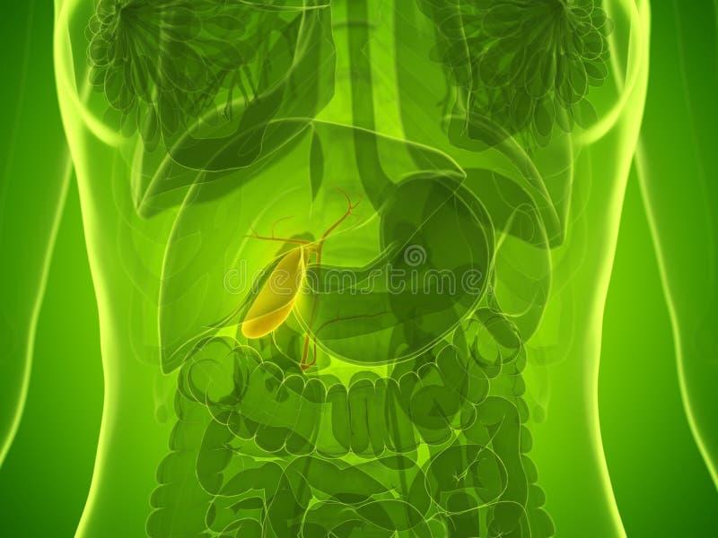 en kvinnas gallbladder vektor illustrationer