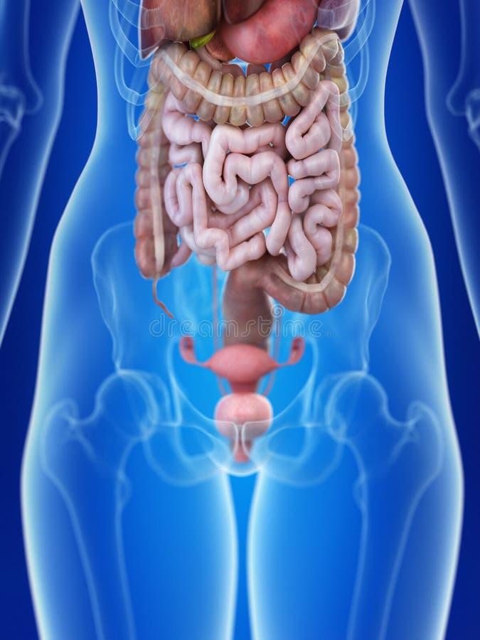 En kvinnas livmoder stock illustrationer