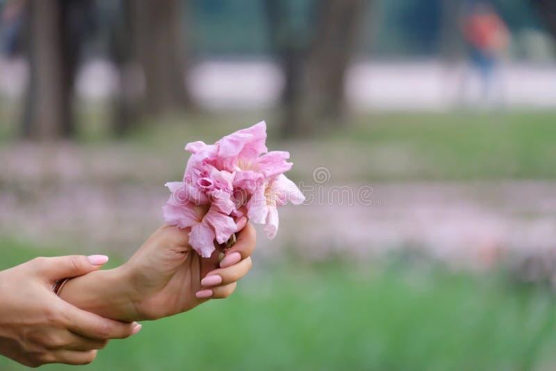 En kvinnlig hand som rymmer en söt rosa tabebuiablommablomning med suddiga alldeles rosa blomkronor med grön naturbakgrund för su arkivfoton