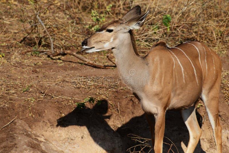 En kvinnlig kudu med dess tunga, ut når att ha slickat mineraler från gyttjan i Botswana royaltyfria foton