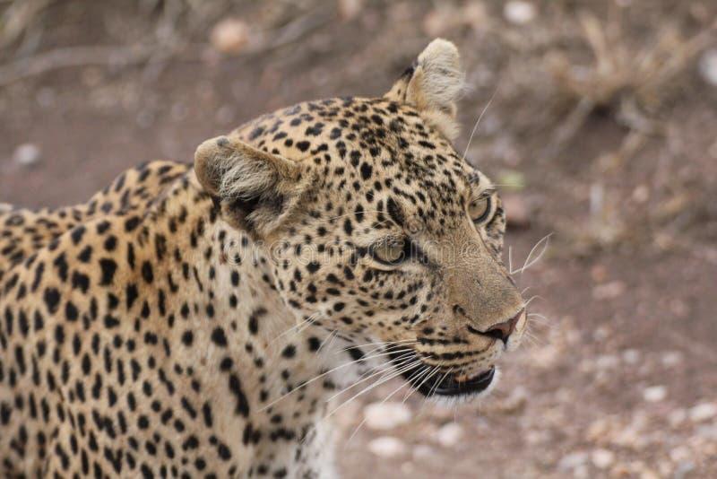 En kvinnlig leopardframsida arkivbilder