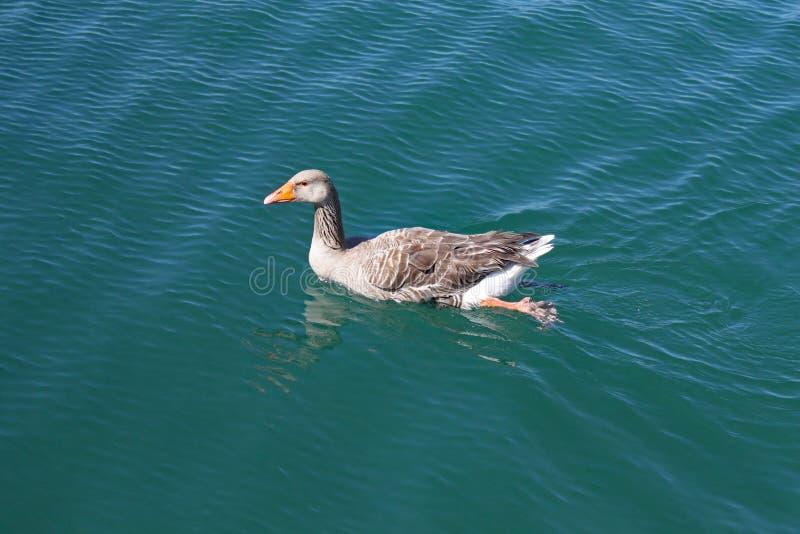 En kvinnlig and simmar långsamt över en sjö och vattenkrusningarna runt om henne arkivfoto