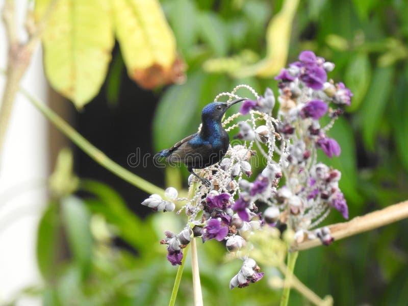 En kvinnliga purpurfärgade Sunbird matar på nektar arkivfoto
