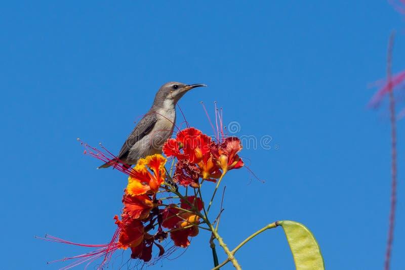 En kvinnliga purpurf?rgade Sunbird suger nektar fr?n en h?rlig r?d blomma i den Muscat, Oman Cinnyris asiaticusen arkivbild