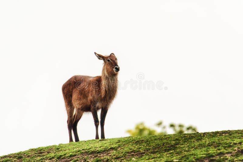 En kvinnliga Waterbuck royaltyfri foto