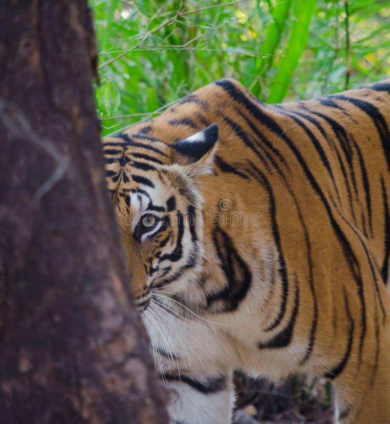 En kvinnligBengal tiger ser kameran bakifrån ett träd royaltyfri foto