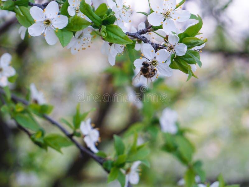 En kvist av päronblomningvariation bl? molnig fj?der f?r sky f?r morgon f?r f?ltgr?sgreen royaltyfri foto
