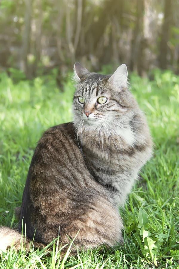En lång haired siberian katt som sitter på den gröna gräsmattan arkivfoton
