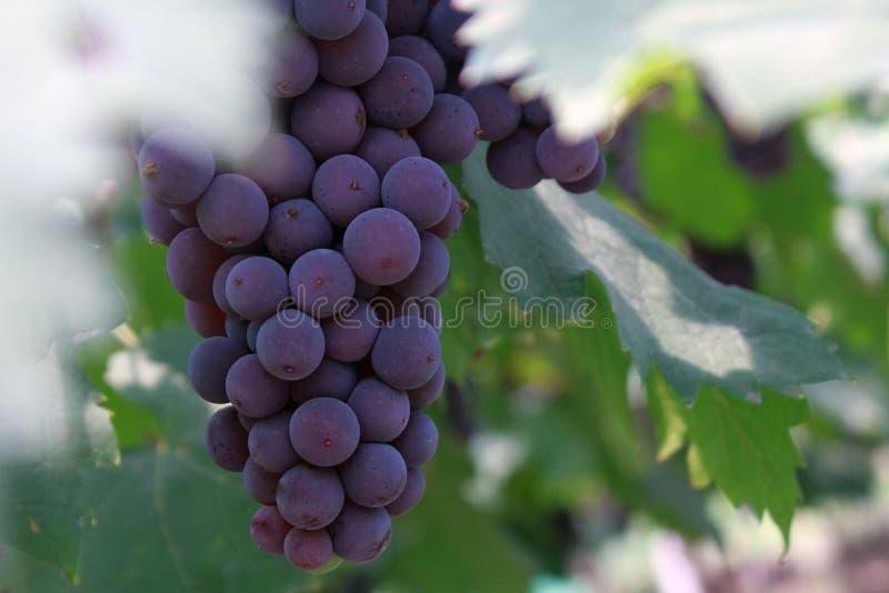 En lång rad av purpurfärgade druvor royaltyfri foto