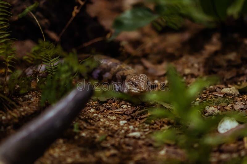 En lömsk reptil som ser hans rov royaltyfri fotografi