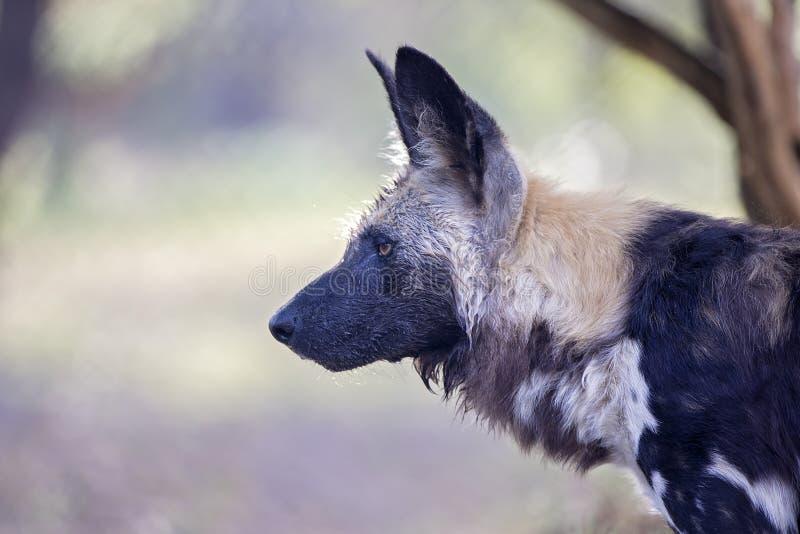 En lös afrikansk udde/målade jakthunden fotografering för bildbyråer