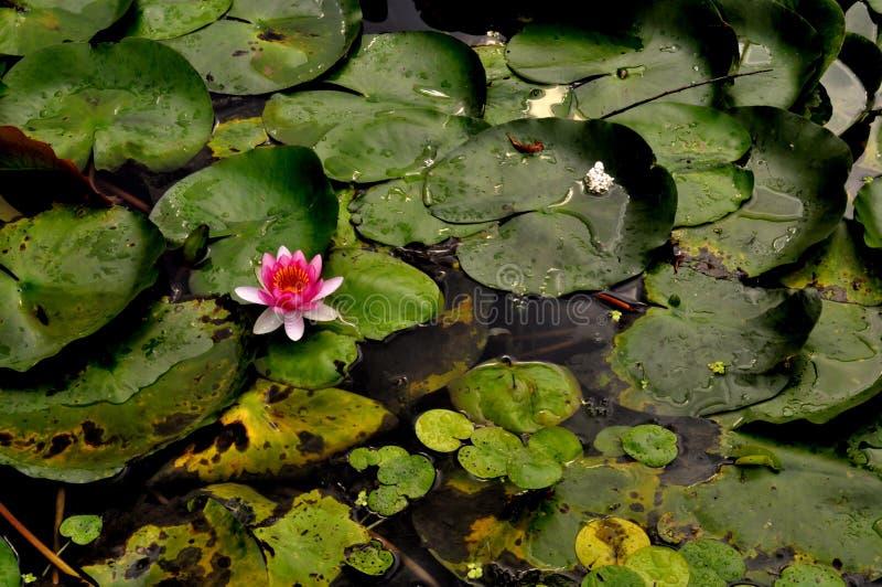 En lös blomma i ett damm arkivfoto