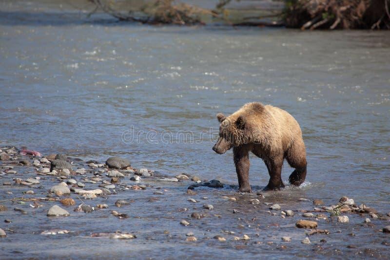 En lös brunbjörngrisslybjörn korsar bergfloden arkivbild