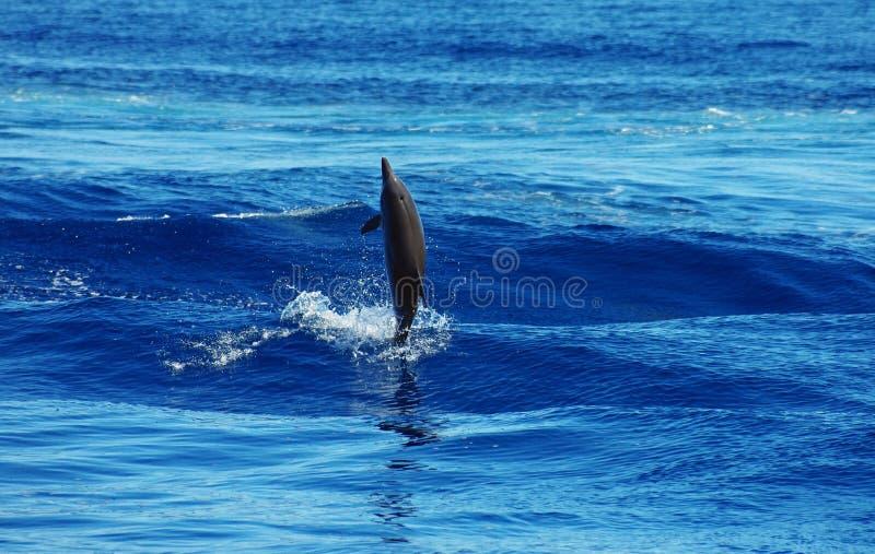 En lös delfin arkivfoto