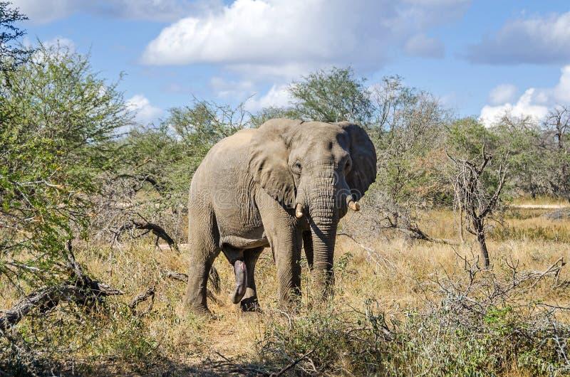 En lös manlig elefant med en stor penis i den Kruger nationalparken, Sydafrika royaltyfri fotografi