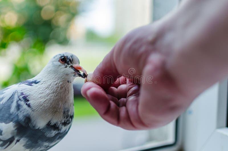En lös vit duva sitter på fönstret och äter från händerna av mannen n?ra ?vre f?r foto Begreppet av förtroende, kamratskap och hj arkivfoton