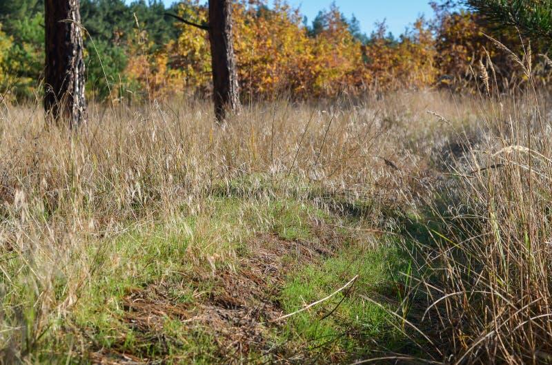 En la derecha en el primero plano son los tallos amarillos secos de hierbas salvajes En el espacio libre del bosque del otoño del imagen de archivo libre de regalías