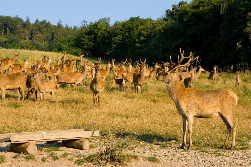 En la granja de los ciervos imagen de archivo
