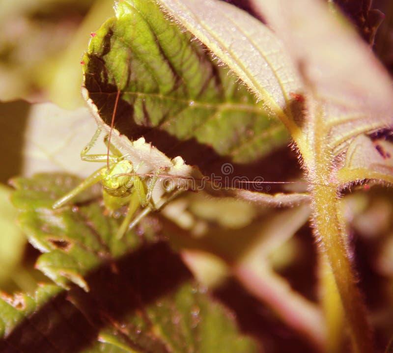 En la hierba sentó el saltamontes fotografía de archivo