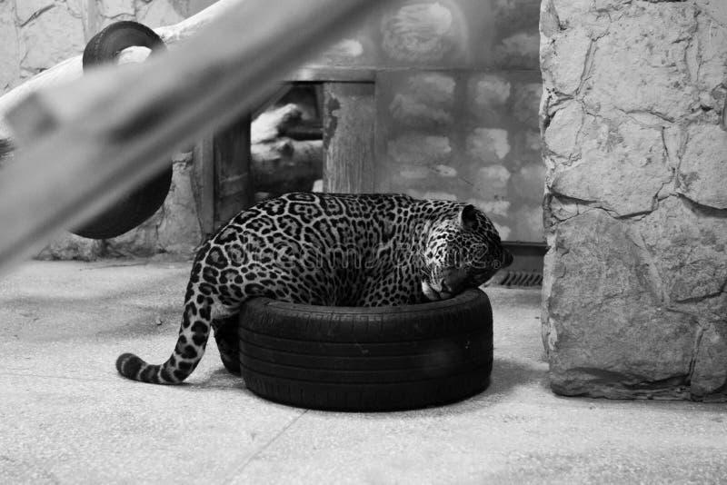 En la jaula y el x28; jaguar& x29; foto de archivo