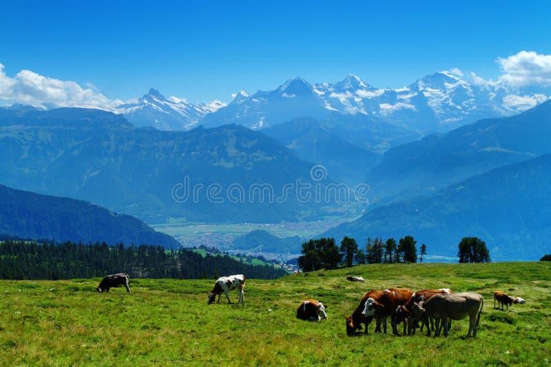 En la montaña de Niederhorn imágenes de archivo libres de regalías