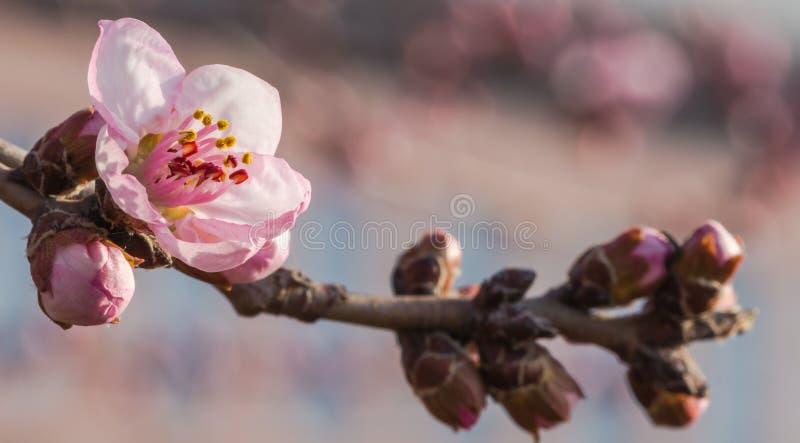 En la plena floración en el flor del melocotón fotografía de archivo