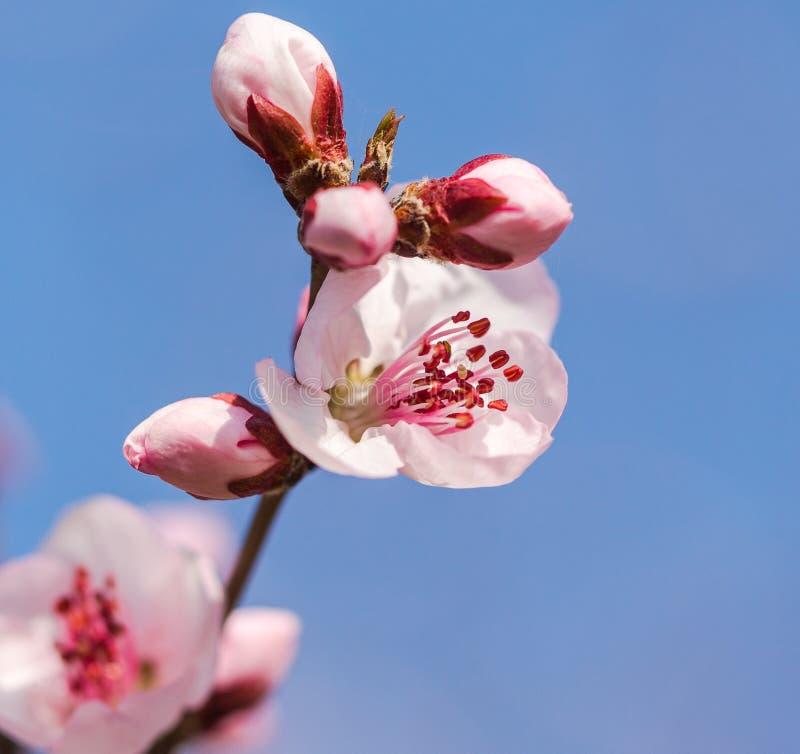 En la plena floración en el flor del melocotón fotos de archivo