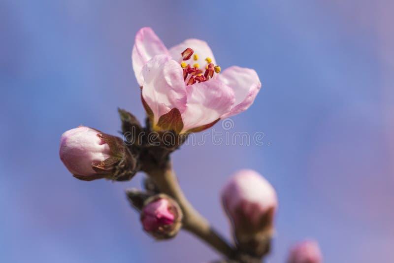 En la plena floración en el flor del melocotón imágenes de archivo libres de regalías