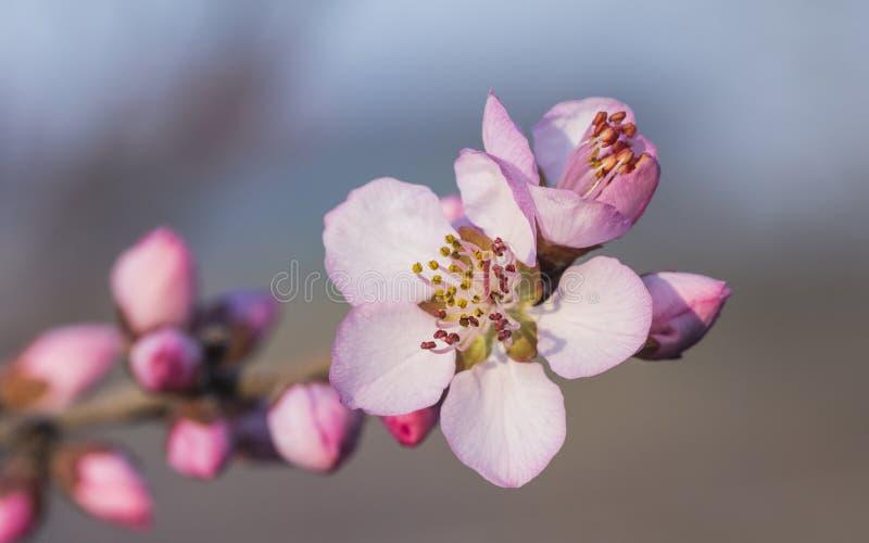 En la plena floración en el flor del melocotón imagen de archivo libre de regalías