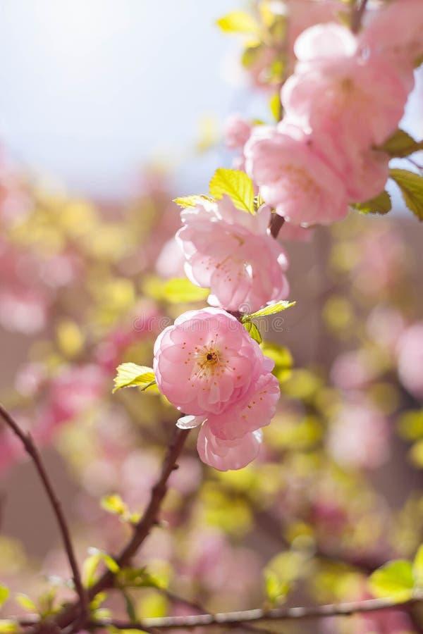 En la plena floración en el flor del melocotón imagenes de archivo