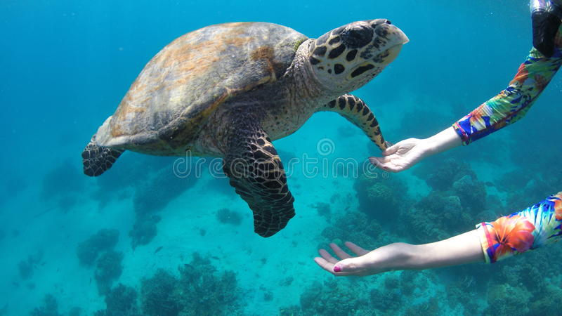 En la tortuga del reloj de la PÁGINA de Filipinas que bucea imagen de archivo libre de regalías