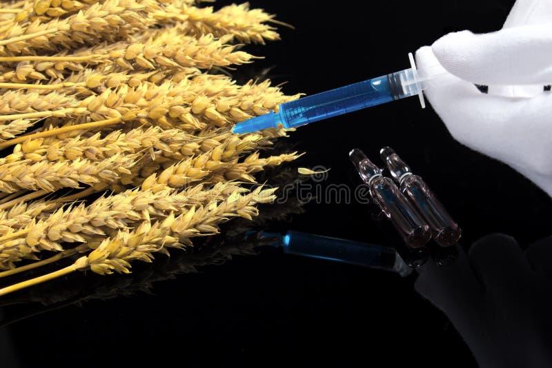 En laboratorietekniker har en spruta med en kemikalie i sina händer och testar vete och korn för GMO Test av vete och spannmål fö royaltyfria bilder