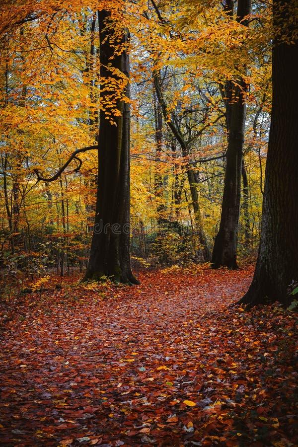 En lake i ett fridsamt trä Gå banan i guld- kulört lövverkblad fall mellan stora träd fotografering för bildbyråer