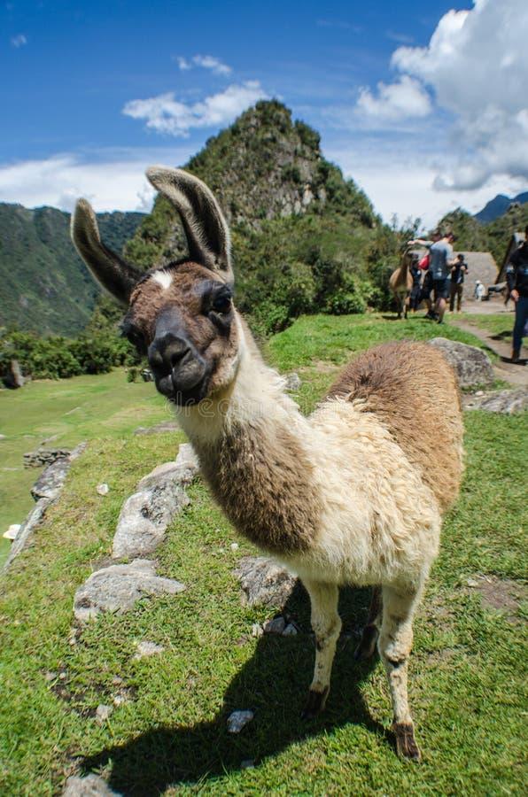 En lama i Machu Picchu royaltyfri fotografi