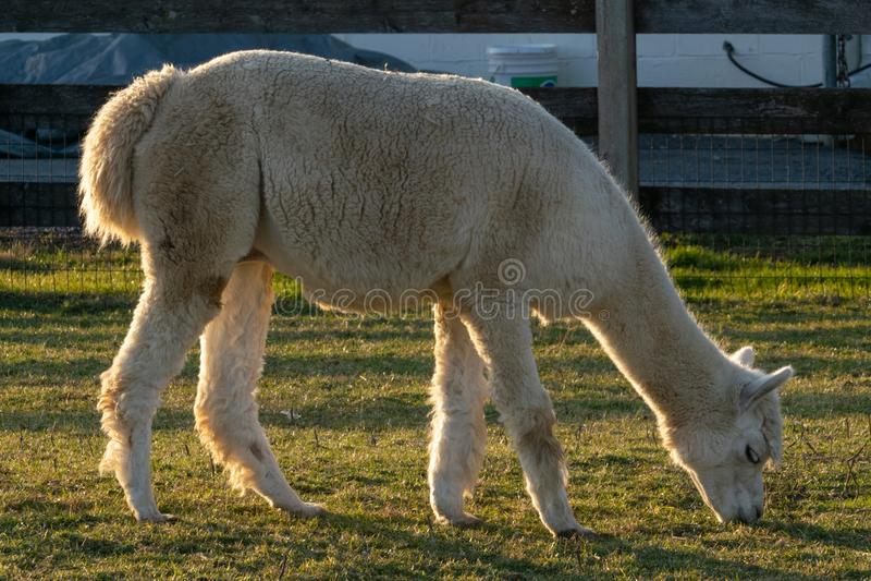 En lama som lyckligt fridfullt betar i en fålla, Lancaster County, PA arkivbild