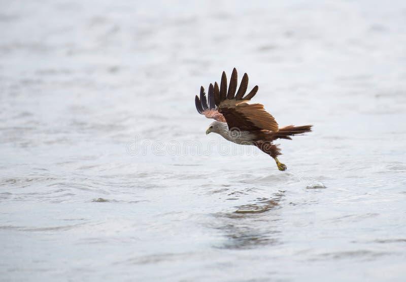 En landning för havsörn på vattenyttersida som fångar dess mat royaltyfri foto