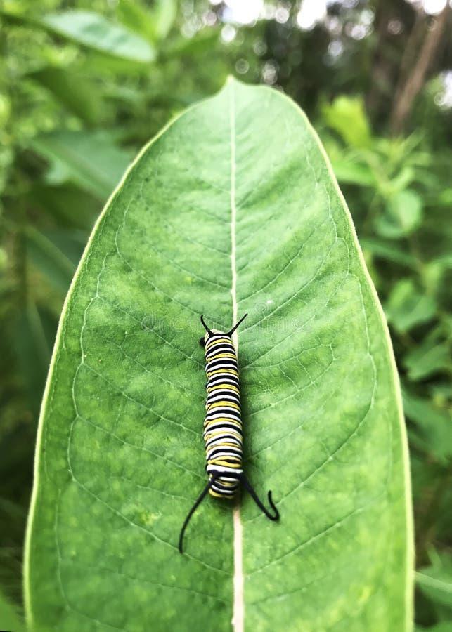 En larv som vilar på ett grönt blad royaltyfri foto
